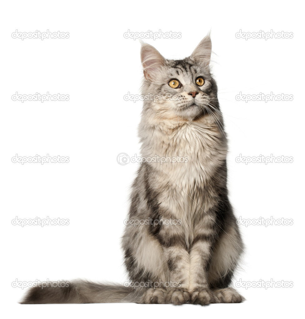 Maine Coon cat, 1 year...