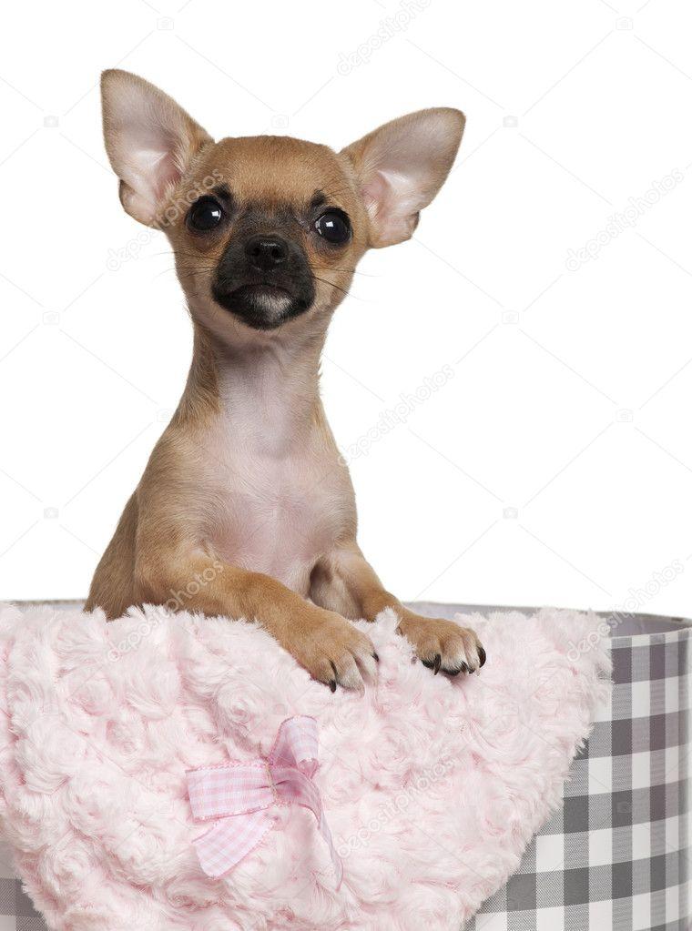 Chihuahua Welpen, 3 Monate alt, mit Weihnachtsgeschenke vor weißem ...