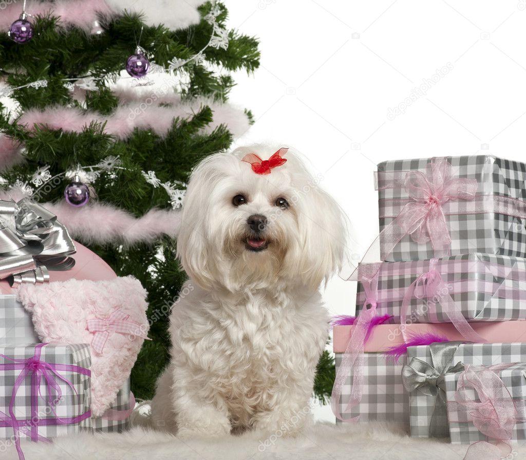 Regali Di Natale 3 Anni.Maltese 3 Anni Seduta Con Albero Di Natale E Regali Di Fronte A
