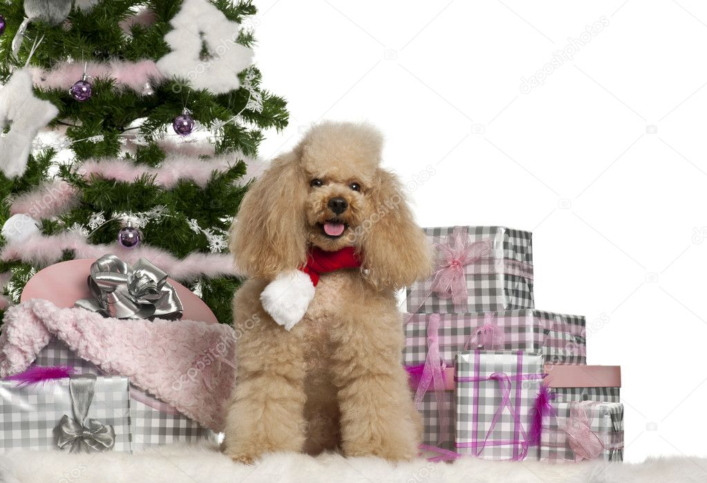Regali Di Natale 5 Anni.Barboncino 5 Anni Seduta Con Albero Di Natale E Regali Di
