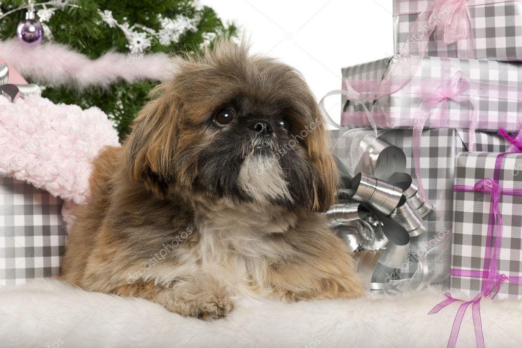 Lhasa Apso, 1 Jahr alt, liegend mit Weihnachtsgeschenke vor weißem ...