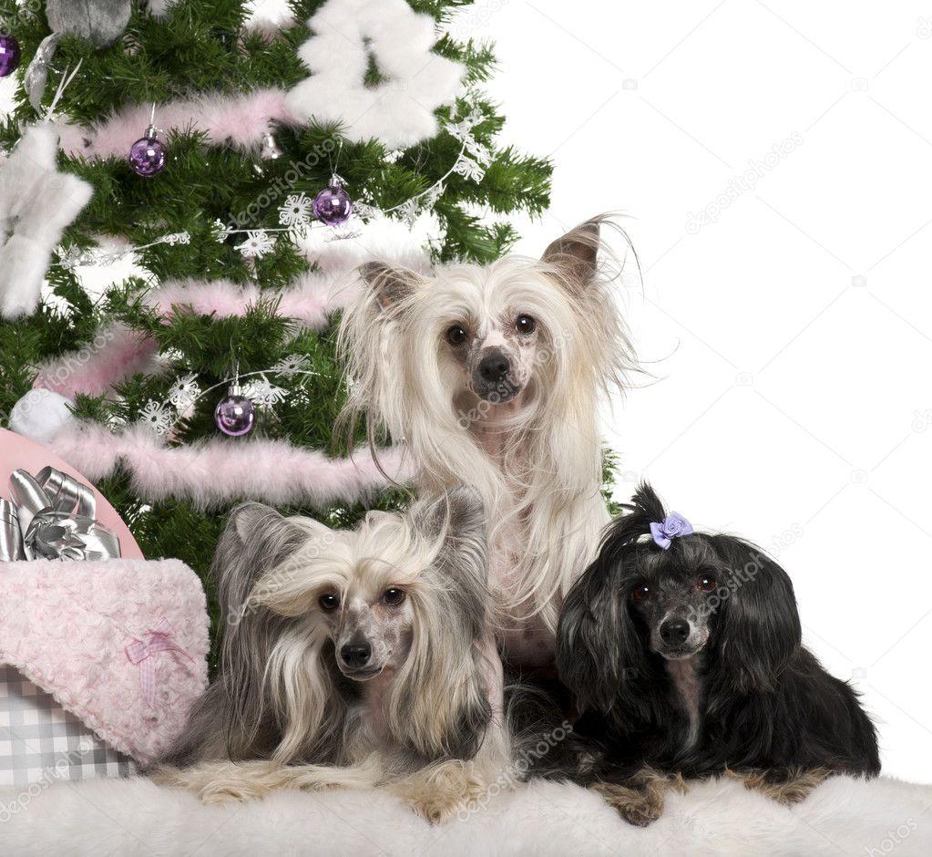 Chinese crested-Hunde, 6, 4 und 9 Jahre alt, liegend mit ...