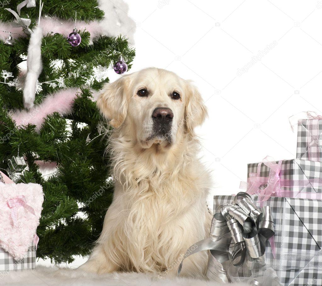 golden Retriever, 8 Jahre alt, liegend mit Weihnachtsgeschenke vor ...