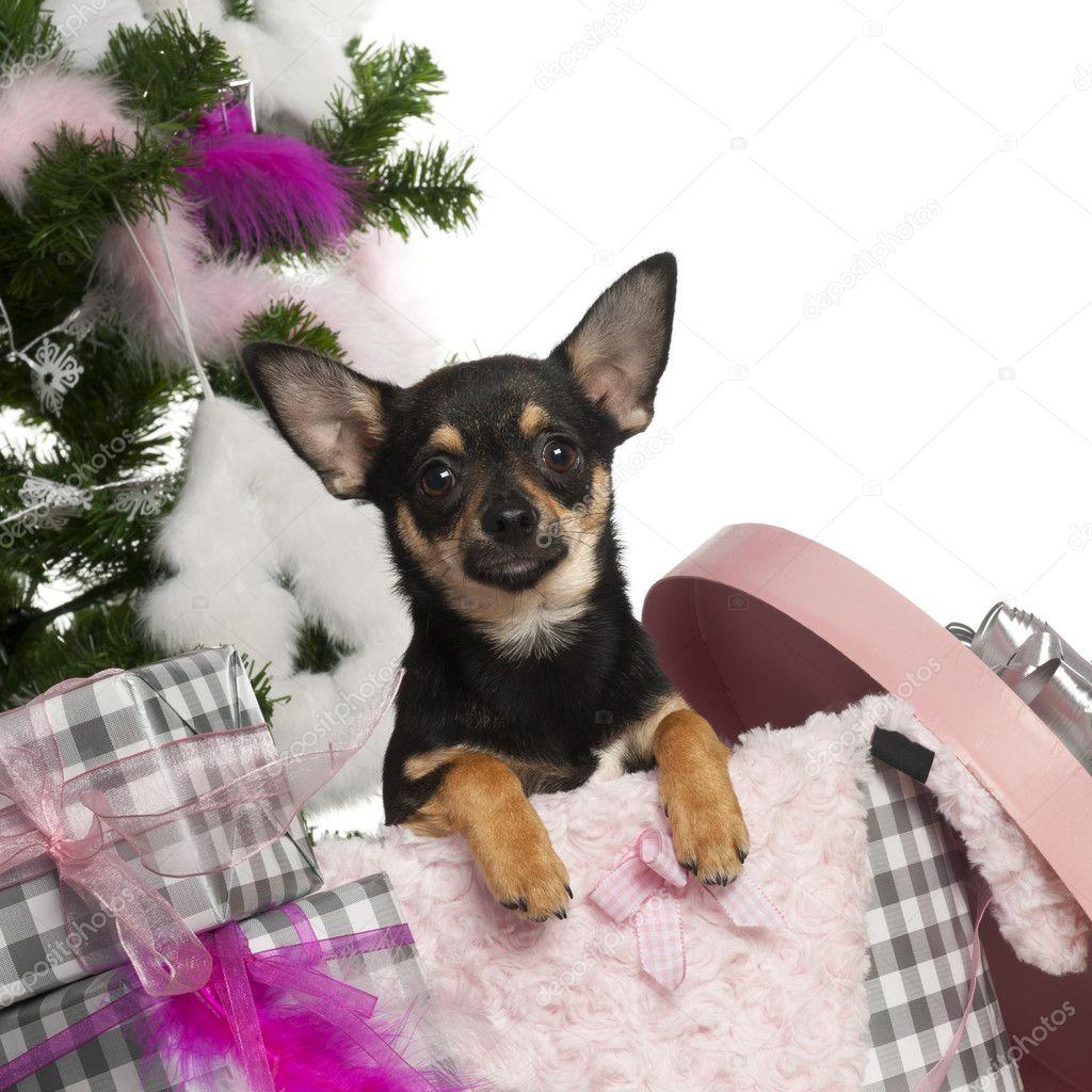 chiot de chihuahua 5 mois sortir d 39 une bo te avec arbre de no l et des cadeaux en face de fond. Black Bedroom Furniture Sets. Home Design Ideas