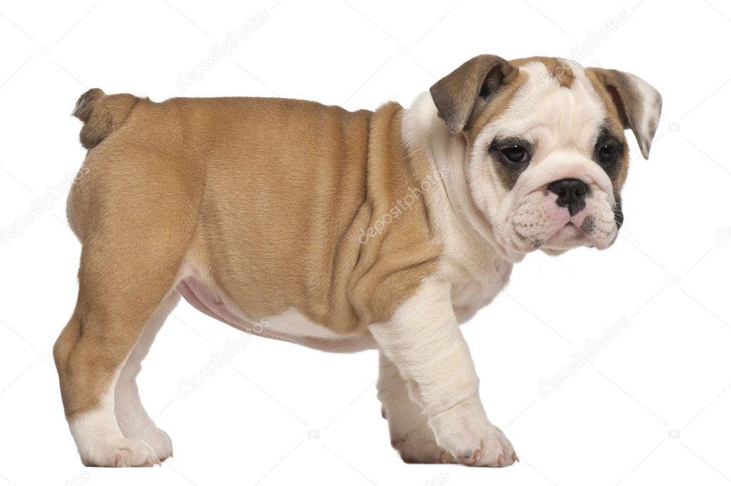 Vista di lato cucciolo bulldog inglese in piedi 2 mesi for Piani domestici di 2000 piedi quadrati