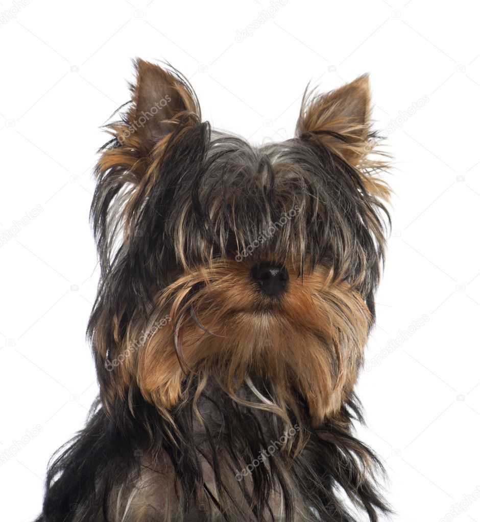 Portrait Of Yorkshire Terrier Puppy 5 Months Old In Front Of White