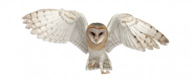 Barn Owl, Tyto alba, 4 months old, portrait flying against white background stock vector