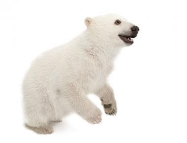 Polar bear cub, Ursus maritimus, 6 months old, standing against white background