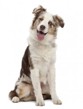 Australian Shepherd puppy, 6 months old, sitting against white background