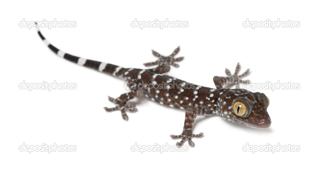 tokay gecko gekko gecko portrait against white background stock