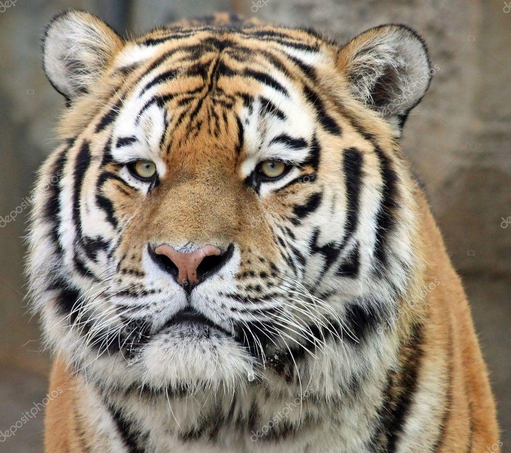 Portrait of a Siberian tiger (Panthera tigris altaica) 02