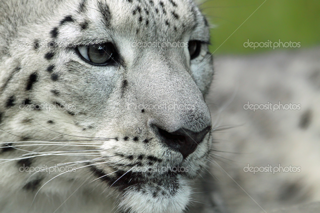 Young Snow leopard (Panthera uncia)