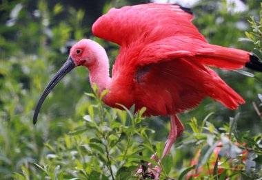 Portrait view of a Scarlet Ibis (Eudocimus ruber)