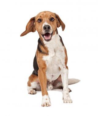 Beagle Mix Dog Isolated on White