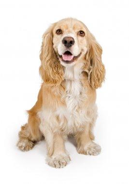 Cocker Spaniel Dog Isolated on White