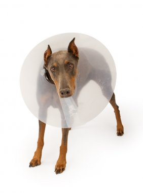 Doberman Pinscher Dog Wearing a Cone Isolated on White