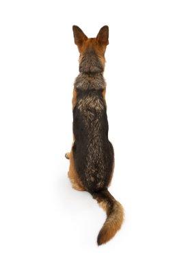 German Shepherd Dog Looking Backward