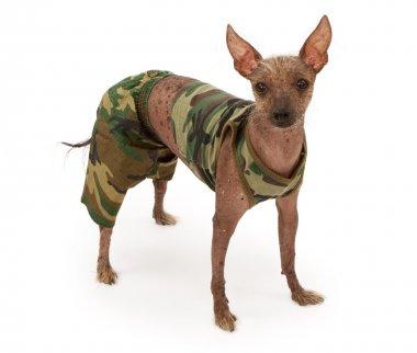 Hairless Chinese Crested Dog Wearing a Camouflage Outfit