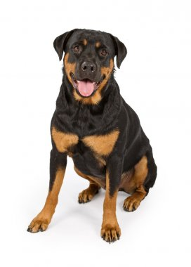 Rottweiler Dog Isolated on White