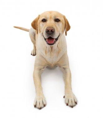 Labrador Retriever Dog With Happy Face