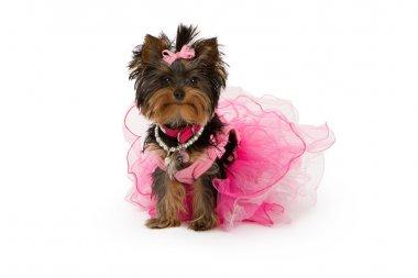 Yorkshire Terrier Dog Wearing Pink Tutu