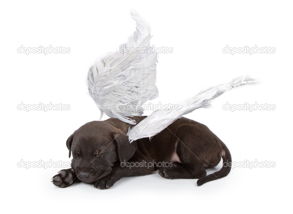 Black Labrador Mix Puppy Wearing Angel Wings