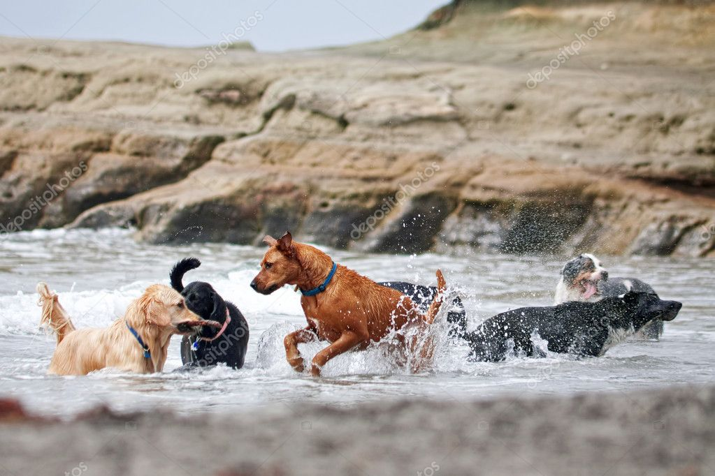 A group of dogs playing in the ocean