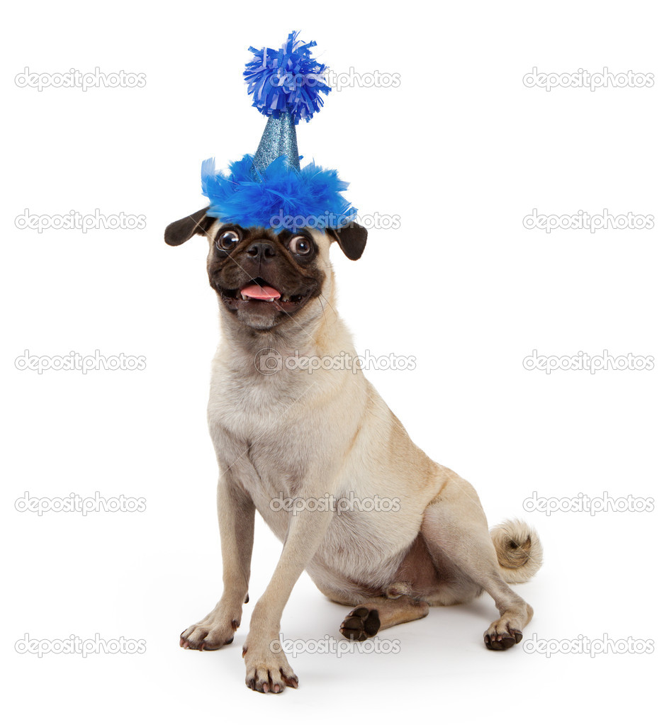 Cute Young Pug Dog Wearing A Party Hat Stock Image