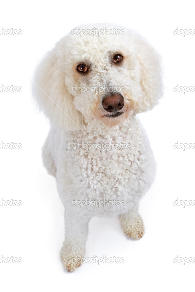 White Golden Doodle Dog Looking Up — Stock Photo