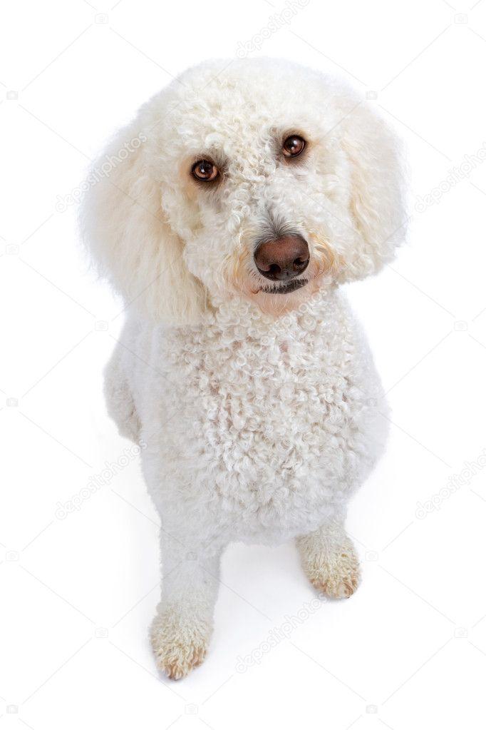 witte gouden doodle hond opzoeken — stockfoto © adogslifephoto #10969777