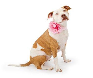 Pretty Pit Bull Terrier Dog