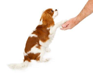 Cavalier King Charles Spaniel Dog Shaking Hands