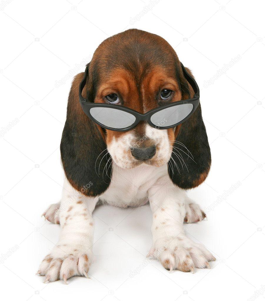 Puppy Sunglasses  basset hound puppy wearing sunglasses stock photo