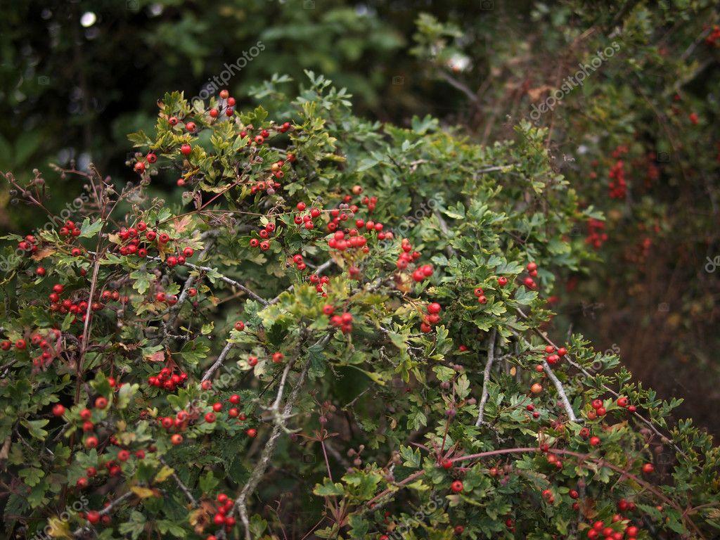 R da b r p tr d och buske p landsbygden stockfotografi for Arbol de frutos rojos pequenos
