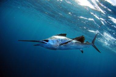 Sailfish underwater in blue water
