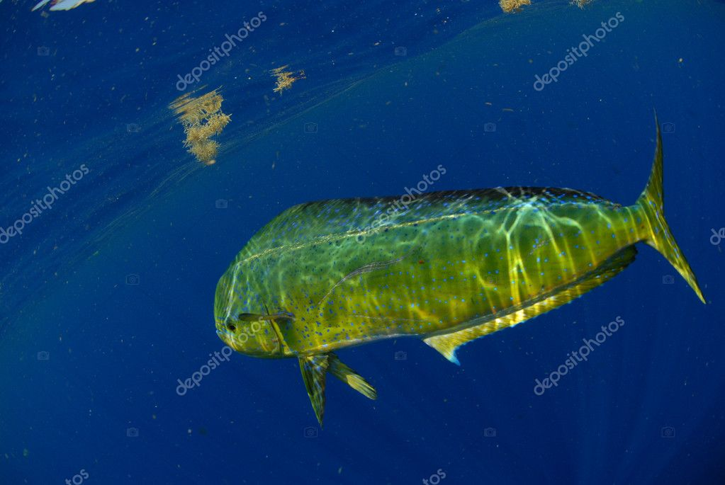 Mahi mahi swimming underwater in blue ocean