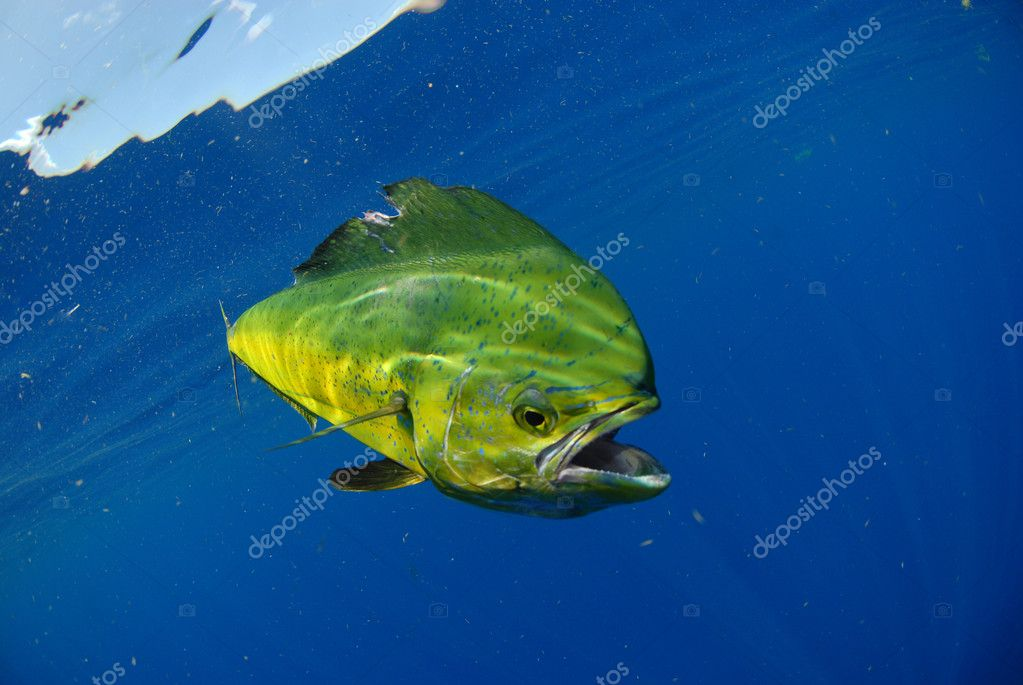 Mahi mahi swimming in ocean