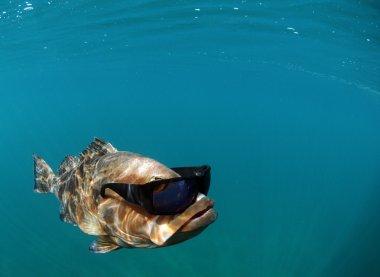 Cool fish wearing sunglasses