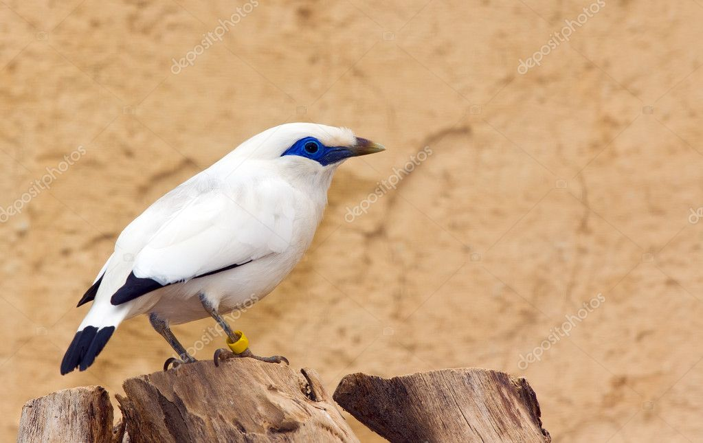 Bali Starling (Leucopsar rothschildi) bird