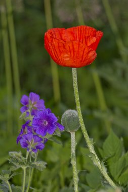 Poppy , flower