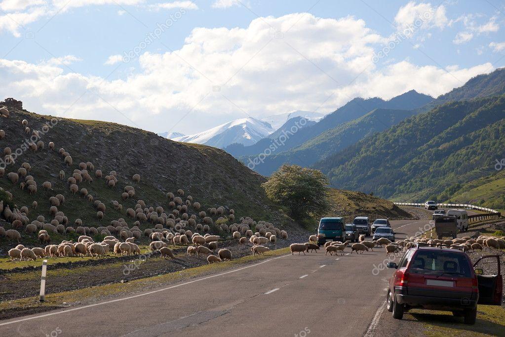 Sheep crossing Georgian military Highway. Georgia.