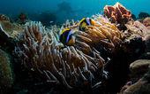 Fotografie Clownfische in anenome