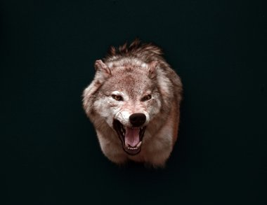 The wolf in the dark