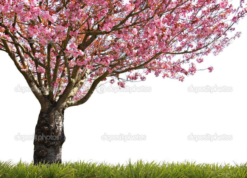 Gorgeous early spring blooming cherry trees in pink. stock vector