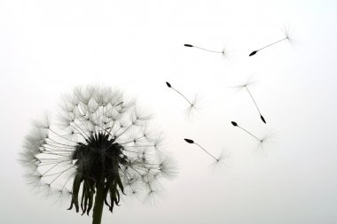 Seeds fly away from dandelion