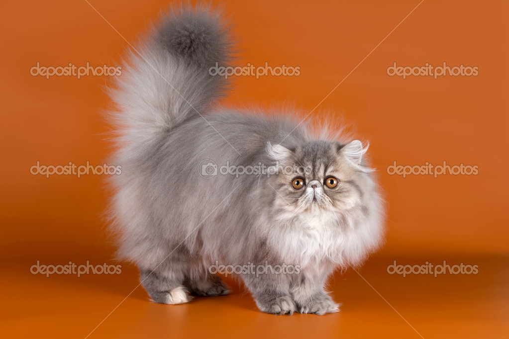 Persian cat on orange background