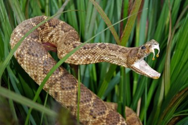 Angry rattle snake