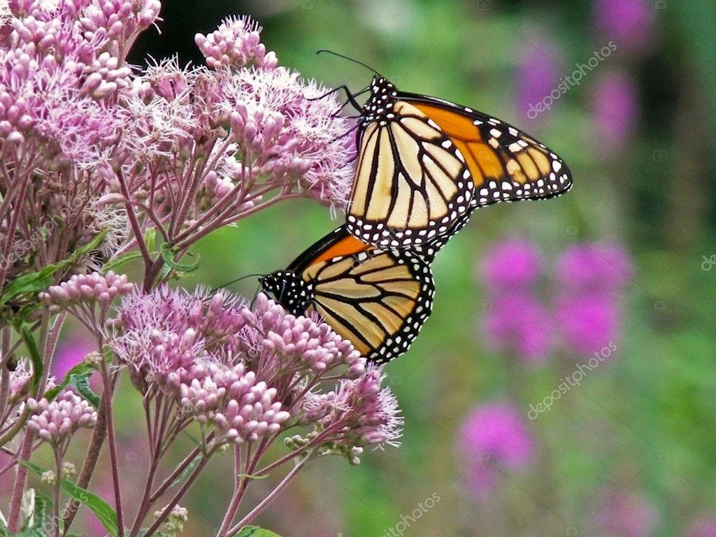 Monarch butterflies on wildflower