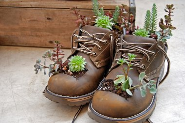 Succulents growing out of boots