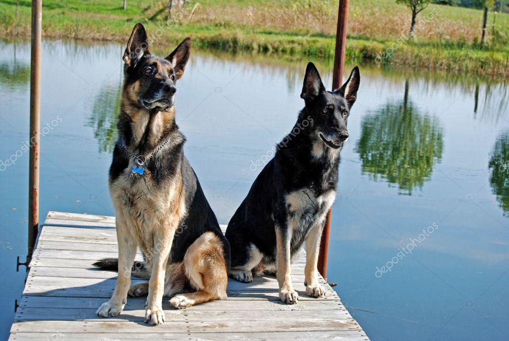 German Shepherd dogs on dock